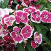 Cravina (Dianthus chinensis)