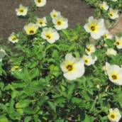 Flor do Guarujá (Turnera ulmifolia)