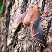Controle de Morcegos