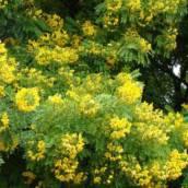 Falso Barbatimão - Cassia leptophylla