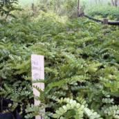 Pau Brasil Caesalpinia echinata