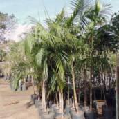Palmito Juçara - Árvores Nativas, Euterpe edulis
