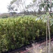 Pau D'alho - Gallesia integrifolia