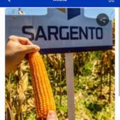 MILHO - Sargento TOP2 (Sacas com 60mil sementes)