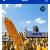 MILHO - Capitão VIP3 (Sacas com 60 mil sementes)