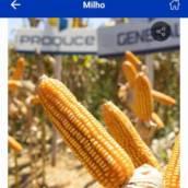 MILHO - General VIP3 (sacas com 60 mil sementes)
