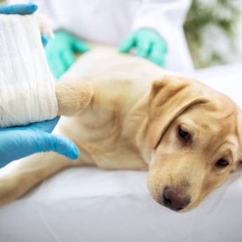 Comprar o produto de Cirurgia em Animais em Atibaia, SP por Solutudo