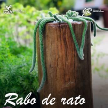 Comprar produto Planta Rabo de Rato em Plantas pela empresa JR Gramas & Paisagismo em Americana, SP