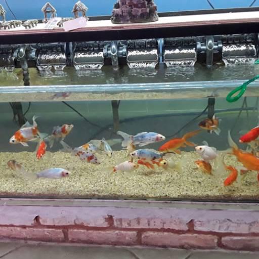 Comprar o produto de Peixes em geral em Peixes pela empresa Flor da Terra em Birigui, SP por Solutudo