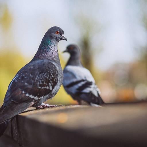 O Sistema Anti Pombos PIGEONS OUT é a melhor solução para atender as necessidades atuais. É capaz de reduzir em até 100% a presença de Pombos do gênero Columba, podendo ser instalado em comércio, residências, indústrias, etc.