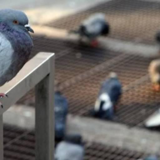 Controle de Pombos em Tietê, SP por Dedetizadora Bioprag