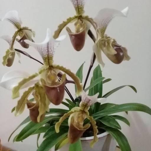 Orquideas em Atibaia, SP por Flora Mirela